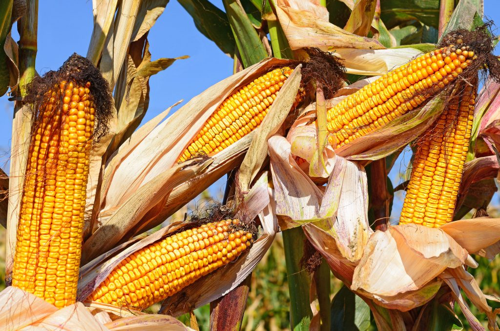 Photo of corn - from article on corn facts - brought to you by the Farming God's Way ministry of Heaven's Family
