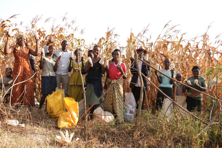 Transformation in Africa - corn harvest